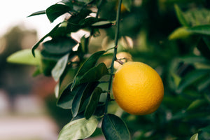 Essential Oil Profile - Neroli
