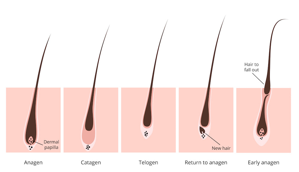 Image result for hair fall cycle
