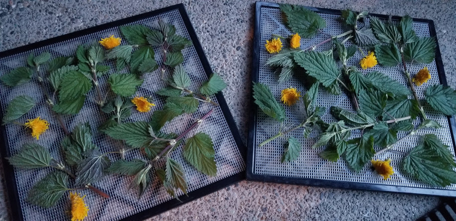 Dandelion and Nettle Harvest