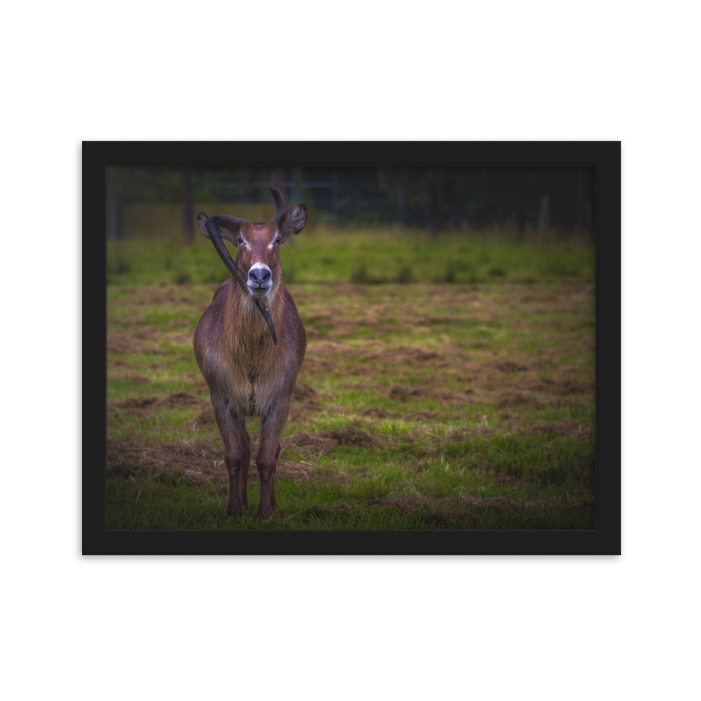 One of a Kind | Waterbuck