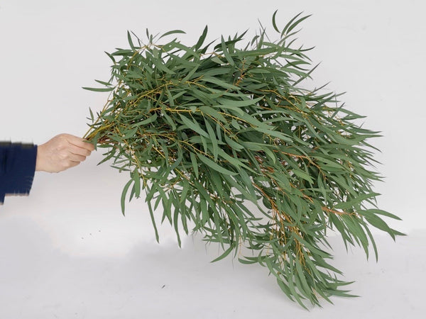Fresh Cut Stems Eucalyptus Nicholii