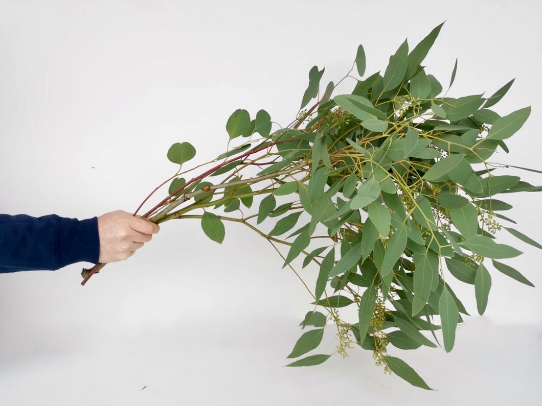 Fresh Cut Stems Seeded Eucalyptus