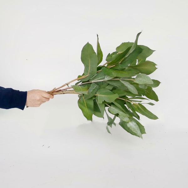 Fresh Cut Stems Eucalyptus Robusta
