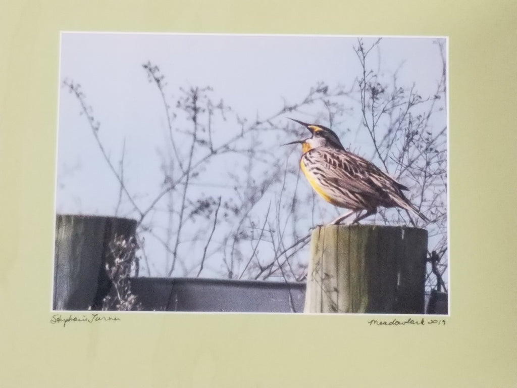 Meadowlark color photo matted in sage by Stephanie Turner