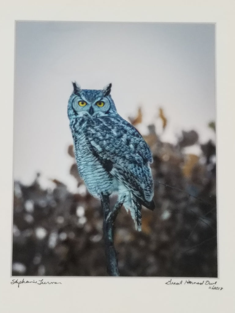 Great horned owl, matted in white by Stephanie Turner