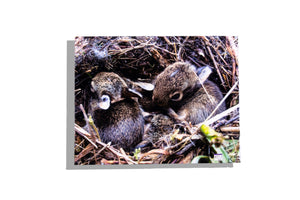 Baby bunnies in a nest