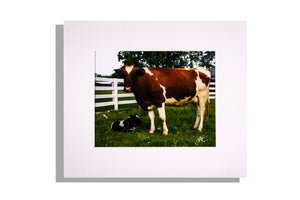 Cow and calf with white fence, color photo, matted
