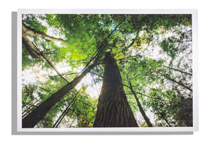 Upward view of tree, color print, unframed