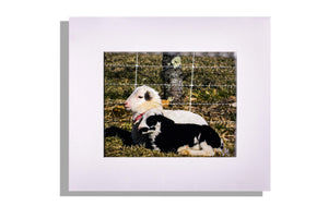 Two little lambs resting, color photo matted white