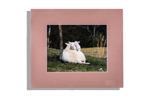 Two white lambs with ewe, color matted in brown