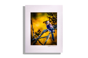 Color photo of blue jay on branch, award winning KY photographer