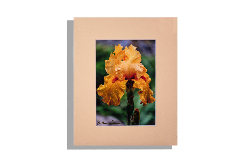 """Iris"" peach with rain droplets, color photo matted light peach, signed"