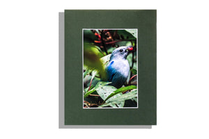 """Blue Gray Tanager"" bird eating berry, color photo"