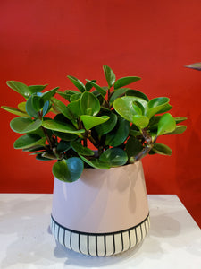 "peperomia 6"" (choose your pot)"