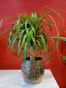 "Ponytail Palm 6"" (choose your pot)"