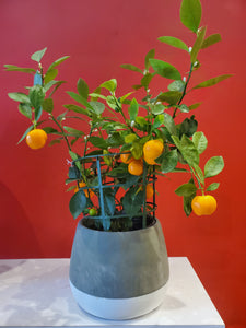 Calamondin orange (choose your pot)