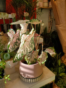 "Caladium 6"" (choose your pot)"