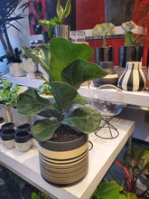 "Load image into Gallery viewer, Fiddle leaf fig tree  6"" (choose your pot)"