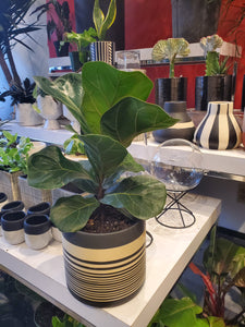 "Fiddle leaf fig tree  6"" (choose your pot)"