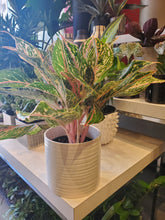 "Load image into Gallery viewer, Aglaonema 6"" Sparkling Sarah- (choose your pot)"