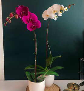 Large single orchid in evelyn pot