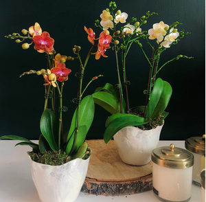 Double mini orchids in shell pot