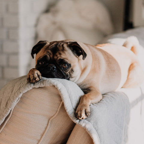 cute pug sitting on couch