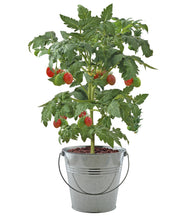 Load image into Gallery viewer, Patio Flavours Roma Plum Tomatoes Galvanised Bucket Grow Set