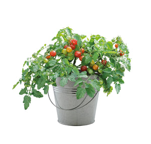 Patio Flavours Minibell Cherry Tomatoes Galvanised Bucket Grow Set