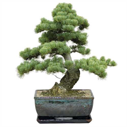 BEES® Premium Bonsai Pine Tree Grow Set