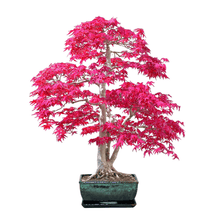 Load image into Gallery viewer, Premium Bonsai Tree Grow Set