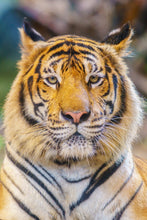 Load image into Gallery viewer, Tiger
