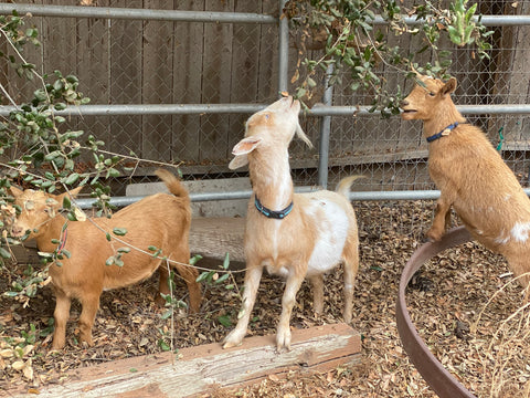 Dill, Scout, and Boo snuck behind their stall to nibble on their favorite snack, leaves.