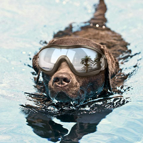 dog swimming wearing goggles