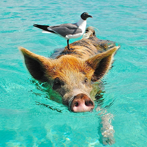 pig swimming needs a nose clip !