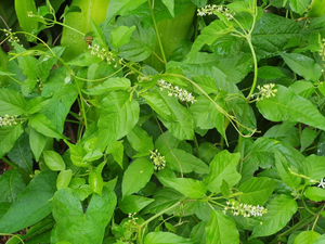 Jamaican Dog Blood Bush | Fertility Herb | Rivinia Humilis