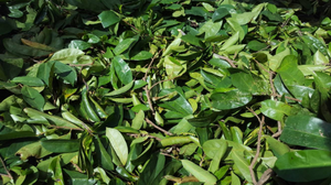 Jamaican Soursop Leaves (Hand-picked, Air-dried) - Yaga Lifestyle