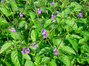 Jamaican Blue Vervain (Wildcrafted) - Yaga Lifestyle