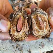 Jamaican Tropical Sea Almond Nut (Raw, Wildcrafted, Superfood Kernel) - Yaga Lifestyle