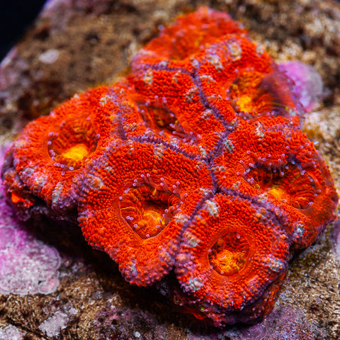 Blood Moon Acan