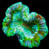 Arctic Green Trachyphyllia