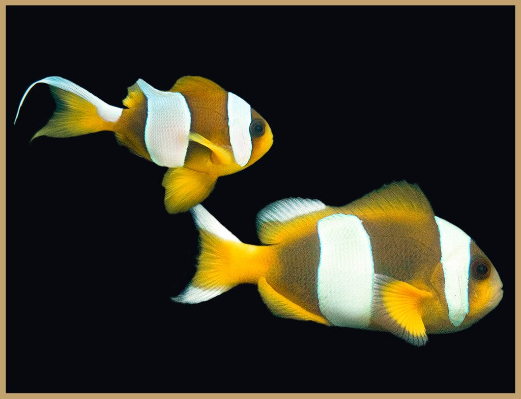 Madagascar Clownfish Pair