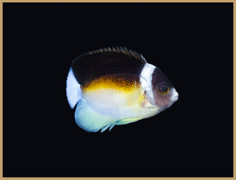 Abe's Angelfish