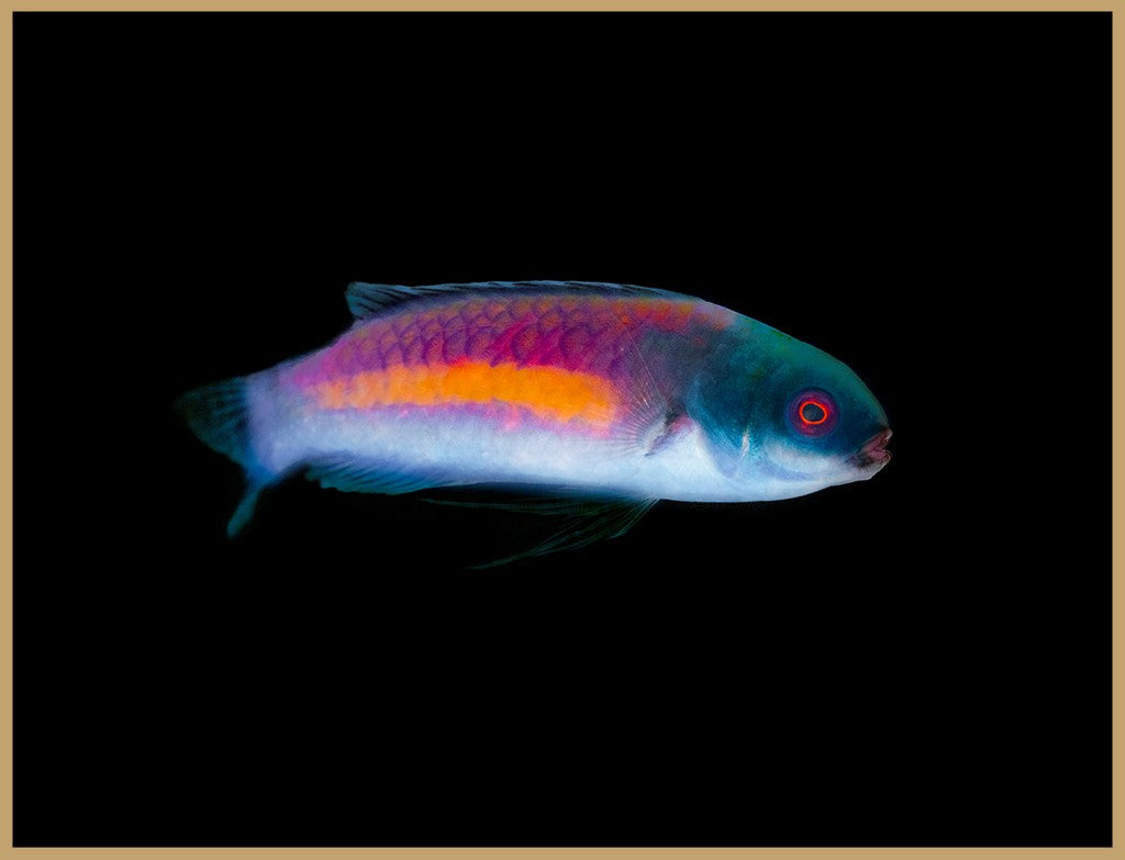 Randall's Fairy Wrasse