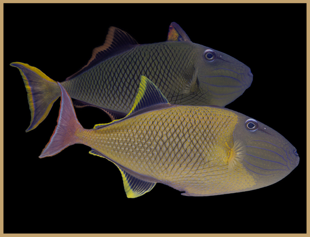Crosshatch Triggerfish Pair