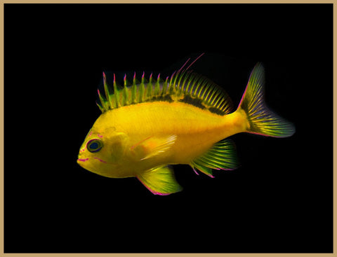 Hawaiian Yellow Anthias
