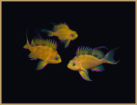 Hawaiian Yellow Anthias Trio