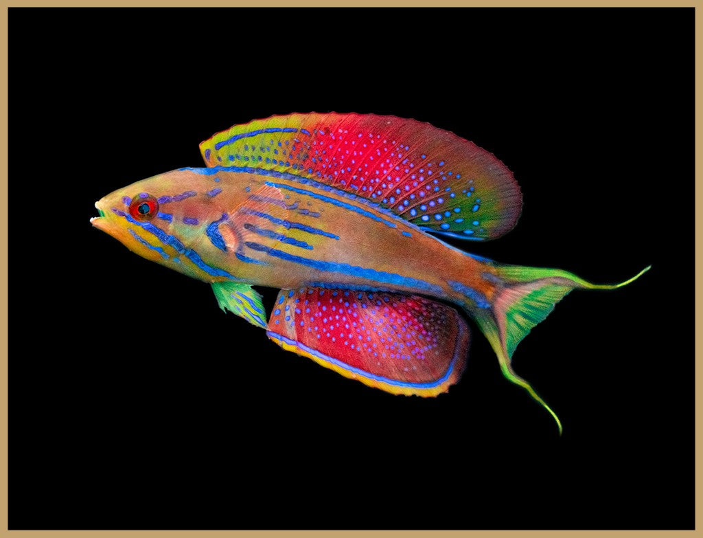 Madagascar Flasher Wrasse
