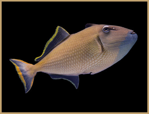 Crosshatch x Blue Throat Triggerfish Hybrid