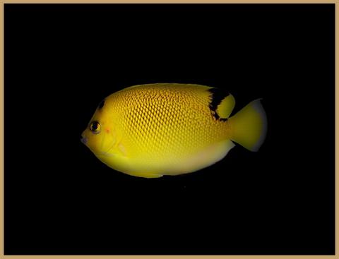 Armitage Angelfish